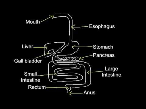 6.1 Skill: Produce an annotated diagram of the digestive system