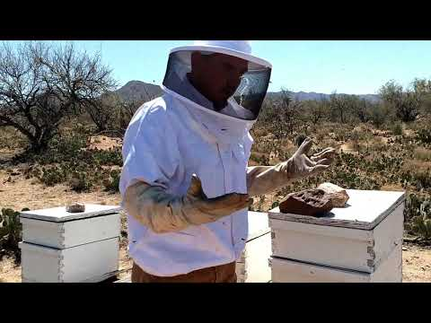 Africanized Honey Bees Defend their Hive