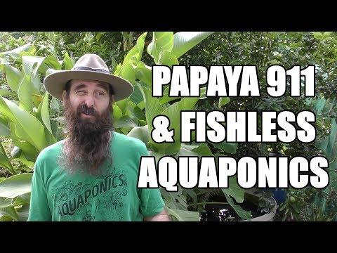 Toppling Papaya & Fishless Aquaponics