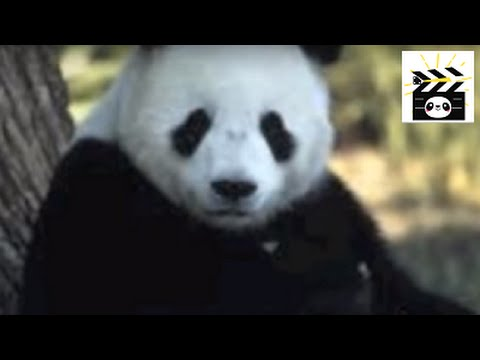 Save the Pandas: an important video about the endangered status of pandas