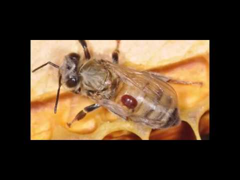 Protect Your Bees from Varroa Mites PowerPoint