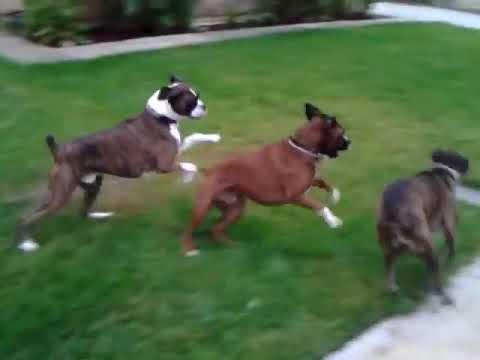 Boxer dogs aggressive behavior control Orange County Los Angeles