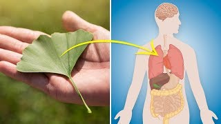 Increase Energy, Libido, Concentration and More With Ginkgo Biloba (Ginkgo Biloba Benefits)