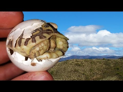 Cute Baby Tortoise Hatching after 16 Months in the Egg