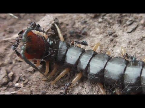 Ants Eating Centipede  ◔_◔)n)n)n)n)n)n)n)n)n)n)=