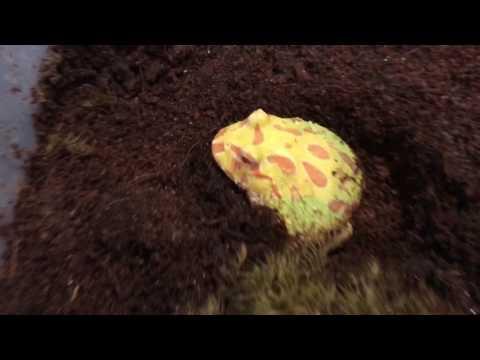 PAC man frog feeding (HE BIT ME!)