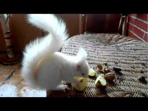 My white widdow ( White squirrel )