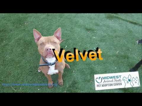 Velvet - Smooth as Silk - Dog Friendly Pitbull in Kansas City