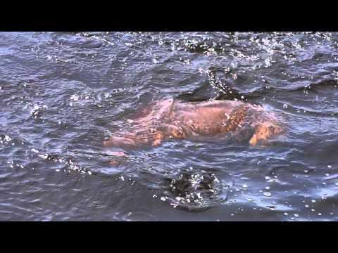 deep lake diving dog Jersey...