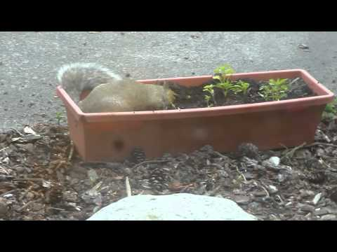Crazy young squirrel rolling in dirt