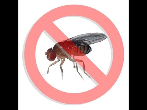 How To Get Rid of Fruit Flies Effectively - Rodent Sheriff