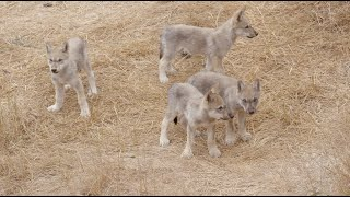 Wolf pups at Oakland Zoo