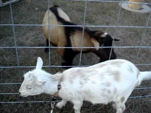 Nigerian Dwarf Goat Doe in Heat, Teasing Buck