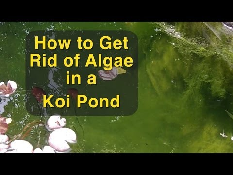 How to Get Rid of Algae in a Koi Pond