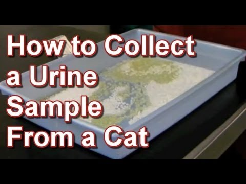 How to Collect a Urine Sample From a Cat - Tai Wai Small Animal & Exotic Veterinary Hospital