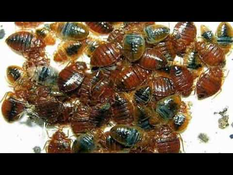 Diatomaceous Earth Bed Bug Killer - Naturally Kill Bed Bugs