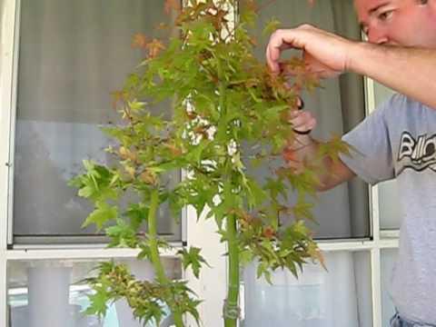 Pruning Japanese Maple Tree Pre Bonsai Part 1