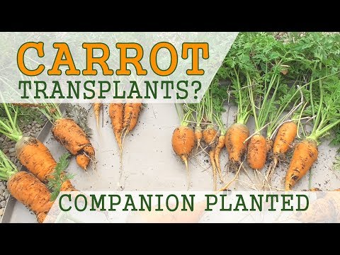Danver Carrots Started Indoors in Conetainers + Companion Planting - November 11 Harvest