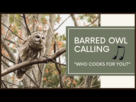 Barred Owl Calls To Mate - Amazing Vocals