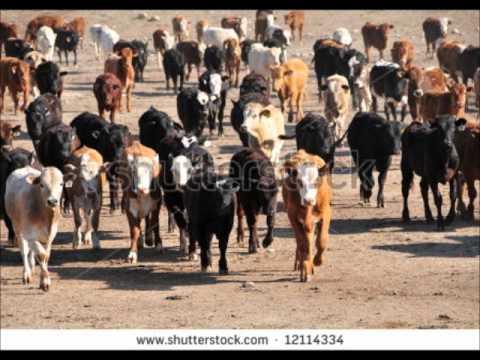 100 AUSTRALIAN COWS FAISALABAD CALL FROM USA DR.ASHRAF SAHIBZADA .wmv