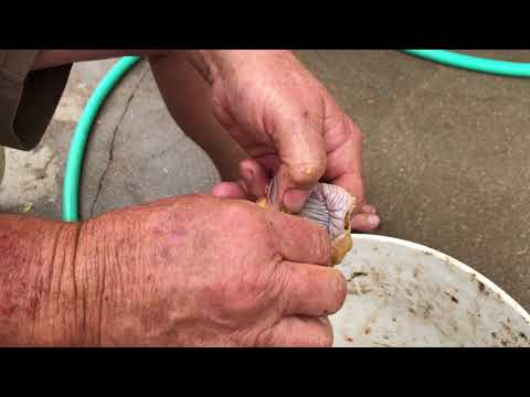 how to clean Chicken gizzards