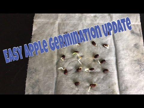 How To Germinate Apple Seeds - Update