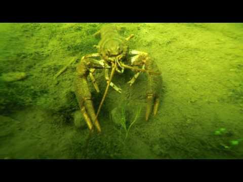 Scuba Diving  Turkish Narrow Clawed Crayfish  River Waveney UK