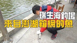 【老蟹愛釣魚】來自澎湖箱網的魚出現在瑞生海釣場,我還不釣幾隻回家吃吃  Go!fishing In Taiwan