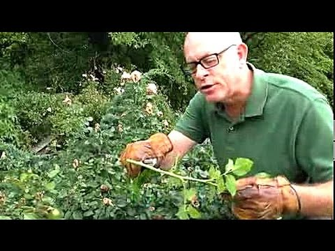 Pruning and Grooming Garden Roses to Keep Them Attractive During The Growing Season.