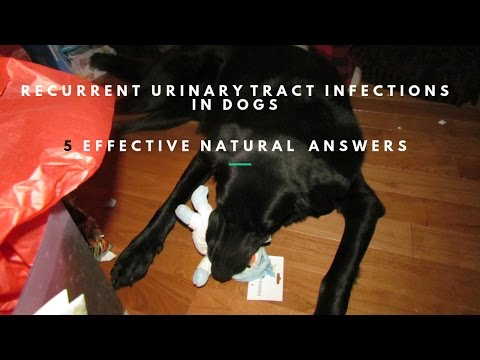 Dog Recurrent Urinary Tract Infections: 5 Effective Holistic Answers