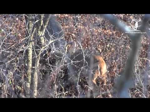 Whitetail Deer Buck Fight - by Illinois Land Company