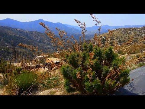Poodle-Dog Bush ★ Poisonous Plant in California- WARNING!