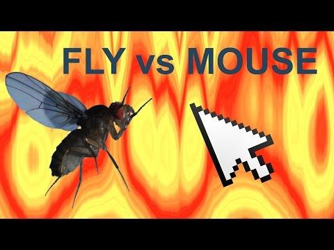 Fly vs Mouse Cursor