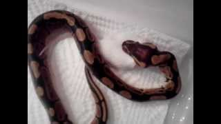 How To Feed Baby Ball Python A Live Mousekiraly Piton Etetes