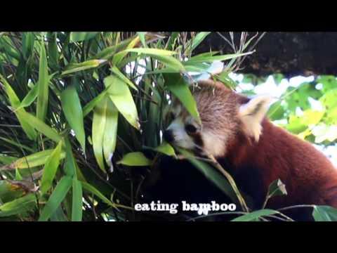 Red Panda Jai Li eating Bamboo at Paradise Park Hayle Cornwall