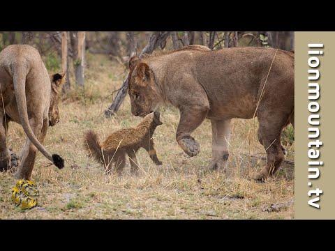 Honey badger vs lion testicles - photo#30