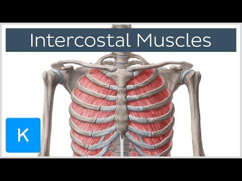 Intercostal Muscles - Function, Area & Anatomy - Human Anatomy  Kenhub