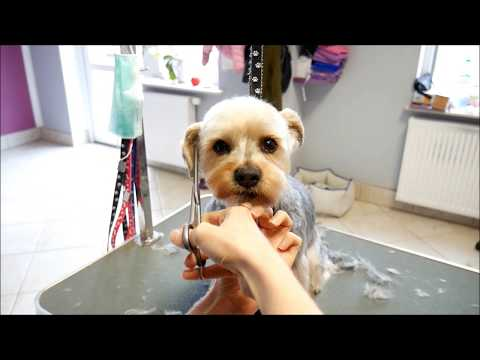 Grooming Guide -  Grooming a head - Yorkshire terier mix #4