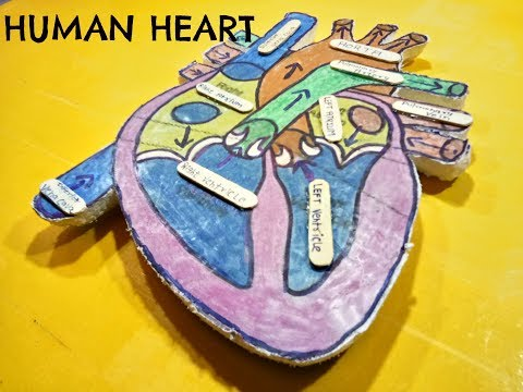 How to make a human heart model at home