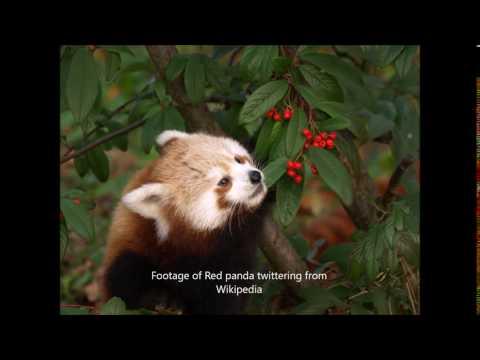 Red Panda Twitter