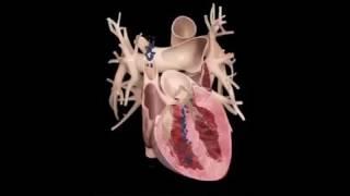 شاهد كيف ينبض القلب من الداخل   See how the heart beats inside
