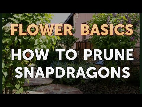 How to Prune Snapdragons