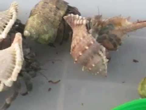 Hermit Crab transferring shell