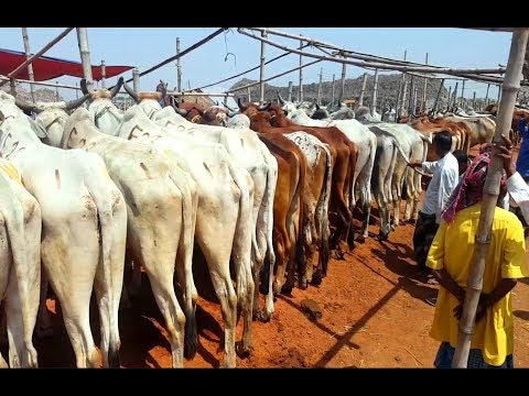 Xxx Mp4 794 India Best COW MARKET Big Big Indian Cows Market Prices 2019 Amp Cow Seller Interview 3gp Sex