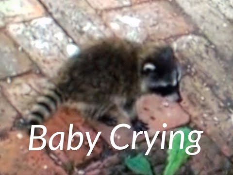 Raccoon Sounds Noises Baby Crying for Momma Victoria BC - Cute
