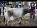 Jersey cow milk record 40 litre per day