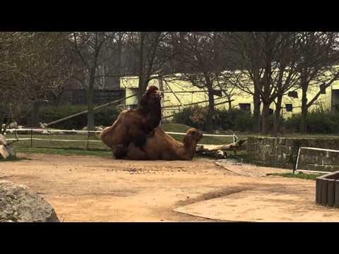 Xxx Mp4 2015 Dresdner Zoo Paarung Von Kamelen Familienplanung Sex Im Tierreich 3gp Sex