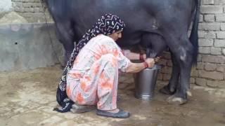 How to Village Buffalo Fresh Milk - How to milking the buffalo by woman -  Haryana Garanpura Kalan