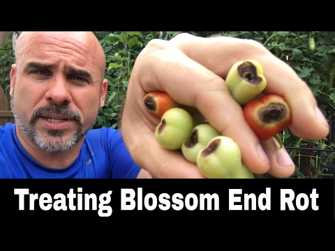 Blossom End Rot (BER) - What is it?  How to Treat it.