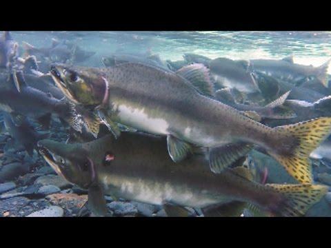 Fishing in Alaska: Part 2  - Ship Creek, Fly Fishing for Char, Pink Salmon in Whittier